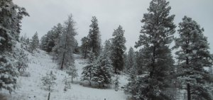 Pinus Ponderosa Tree