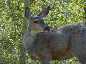 Image of deer, Princeton British Columbia.