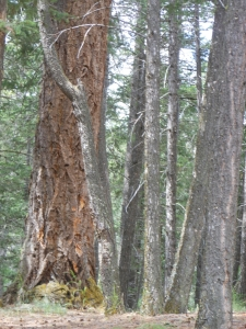 First growth pine tree located in Kentucky Alleyne Provincial Park British Columbia Canada.