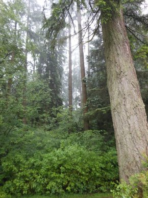 Second growth west coast fir trees.