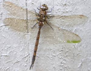 Close up photograph of dragonfly taken at Vernon BC.