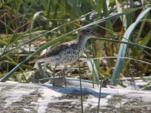 Photograph of Little Curlew Sandpiper taken at Iona Beach Park, Sea Island, Richmond BC