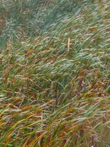 Wind-blown bulrushes, Iona Beach Park, Sea Island BC.