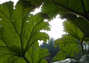 Gunnera leaves at Queen Elisabeth Park, Vancouver BC