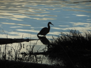 A blue heron fishing on the reflective shores of the Frazer River, Vancouver BC Canada.