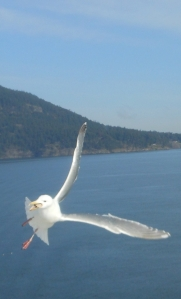 Seagull in flight over Straight of Georgia.