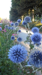 Echinops ritro, the globe thistle growing in the green streets community garden along SE Kent Street, Vancouver, Canada.