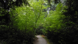 Photograph of vine maples along the trails at Pacific Spirit Regional Park, Vancouver Canada.