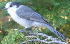 Also known as a grey jay or Canada jay