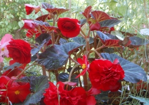 Red ruffled begonia in my garden, Vancouver BC