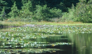 Water lilies on Yew Lake, Cypress Mountain, British Columbia.