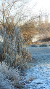 Heavy morning frost on bulrushes and branches in John Hendry Park, Vancouver, Canada.