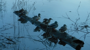 Ducks on the Frazer at Dusk.