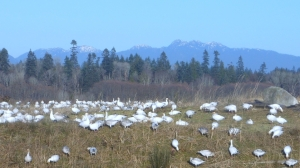 Flock of snow geese at Iona Beach Regional Park, Richmond, BC.
