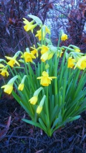 Miniature daffodils, (Narcissus asturiensis), February 16th, Vancouver, Canada.