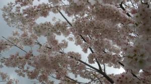 Cherry blossoms at John Hendry Park, Vancouver Canada
