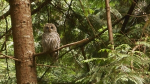 A bared owl perched in a tree, Ruckle Point Provincial Park, Salt Spring Island, BC, Canada
