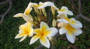 Tropical frangipani flowers as found on the big island Hawaii.