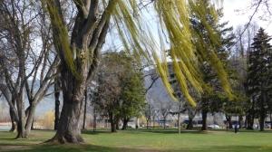 Windblown willow tree, Riverside Park Kamloops BC